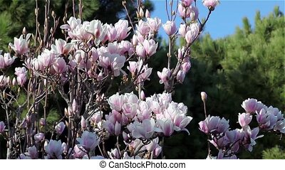 Magnolia Tree In Bloom - Video clip of magnolia tree in...