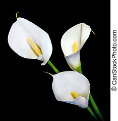 three white Calla lily isolated on black background - three...