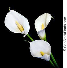 três, branca, calla, lírio, isolado, pretas,...