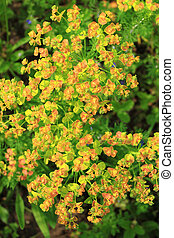 Euphorbia esula - Flowering Green Spurge in spring,...