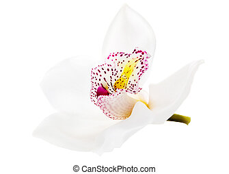 one white orchid isolated - one white beautiful orchid...