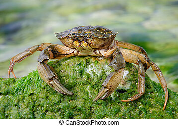natural crab in the sea water on green stone with moss