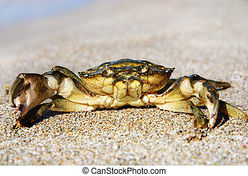 natural crab on the sand against the sea at beach
