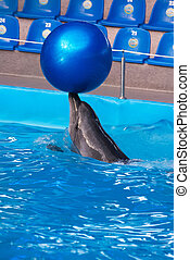 Dolphin in a dolphinarium pool with the big blue ball -...
