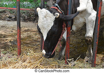 Dairy cattle eating silage