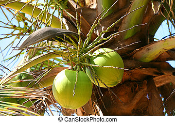 coconuts - two big coconuts on paln at sunny day