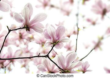 backlighting Magnolia denudata flower in a garden at spring