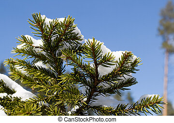 Fir tree branch covered with snow - White snow on fir tree...