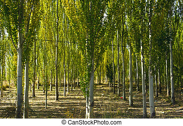The white poplar
