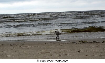 seagull baby walk sea - gull bird baby walk coastal sea sand...