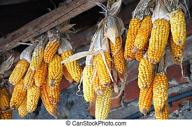Yellow corn hanging on the rod after harvest
