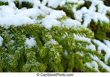 Evergreen fur-tree with a snow