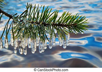Pine branch with icicles.
