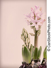 Pinkish hyacinth on vintage background