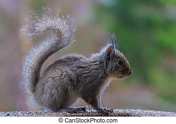 A very cute Japanese Brown Squirrel Sciurus lis feeding