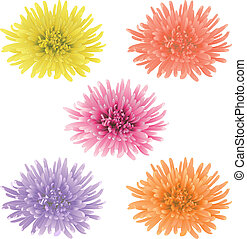 Vector chrysanthemum flower. - Vector illustration with five...