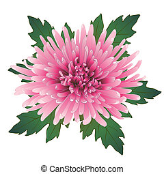 Vector chrysanthemum flower. - Vector illustration with pink...