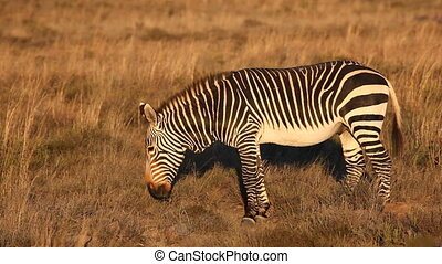 Cape Mountain Zebra (Equus zebra) in early morning light,...