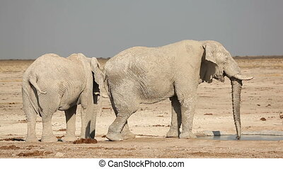 African elephants at waterhole - Two large African bull...