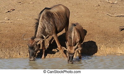 Wildebeest drinking - Blue wildebeest (Connochaetes...