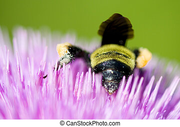Bee pollinating a pink flower - Close-up of a bee...