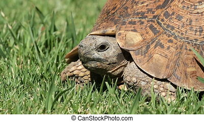 Leopard tortoise - Close-up view of a leopard tortoise...