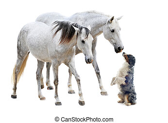 camargue horses and australian sheepdog - two camargues...