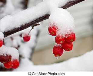 First Snow - Crabapples after the first snowfall of the year...