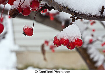 Snow Apples - Flowering Crabapples under snow