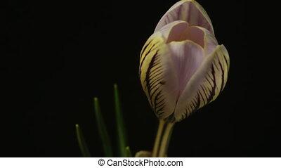 snowdrop crocus saffron blossom time lapse