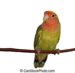 Lovebird isolated on white background, Agapornis roseicollis...