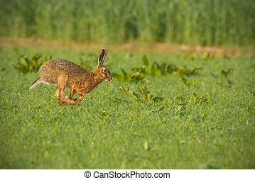 Common brown hare running through lush green field with...