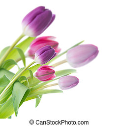 purple tulips in a corner of the frame on a white background