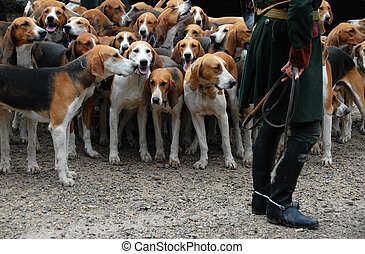 fox hunting - dogs waiting for a fox hunting with a riding...
