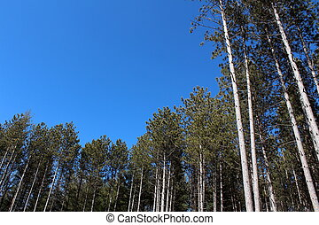 Bright blue skies and tall pines