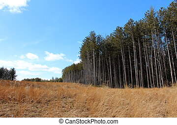 Peaceful landscape of tall pines