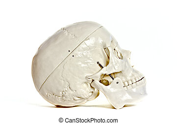 Skull on white background - Medical learning skull laying on...