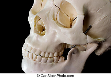Skull on black background - Medical learning skull laying on...