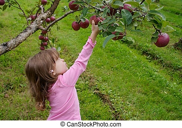 Picking apples - Little girl dressed in pink and picking...