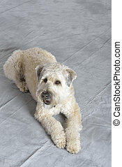 Dog Terrier
