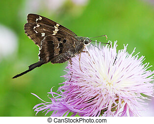 Long Tailed Skipper - Long-Tailed Skipper Urbanus proteus on...