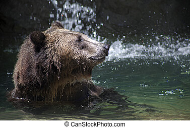 A bear baths in a pool of water - A grizzly bear swims in a...
