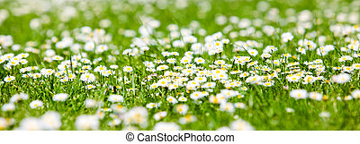 field of daisyes.  Green grass and chamomiles in the nature