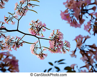 Pink sweet dream feeling - Pink trumpet tree flower blooming...