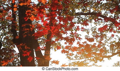 The maples with red leaves in autumn forest