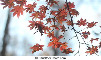 The maples with red leaves in autumn forest.