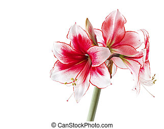 "Hippeastrum ""Temptation"" isolated on the white background"