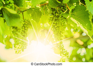 Fresh Green grapes on vine Defocus - Fresh Green grapes on...