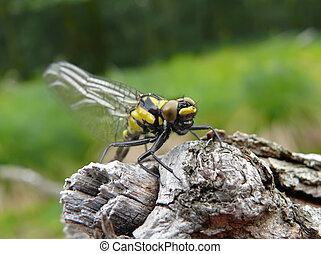 Dragonfly 5 - A close-up of a dragonfly on dry snag. Russian...