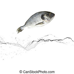 Sea bream fish jumping from water